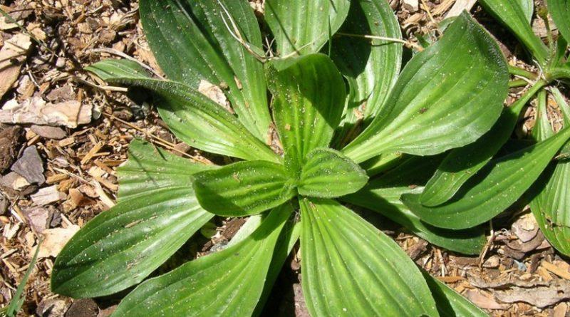 Plantago lanceolata - babka lancetowata