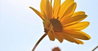arnika górska kwiat