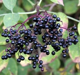 owoce czarnego bzu