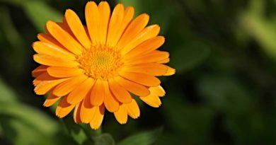 nagietek lekarski kwiat